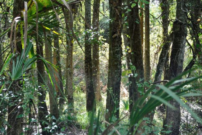 Spruce Creek Trees